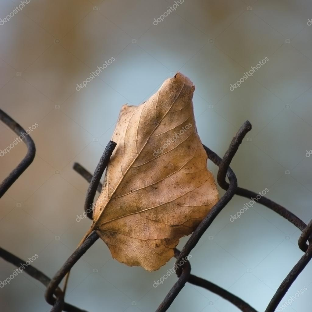 Fallen yellow autumn linden limetree leaf caught on rusty wire mesh fence, large detailed macro closeup, solitude concept metaphor, gentle bokeh