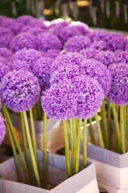 Purple Allium plant