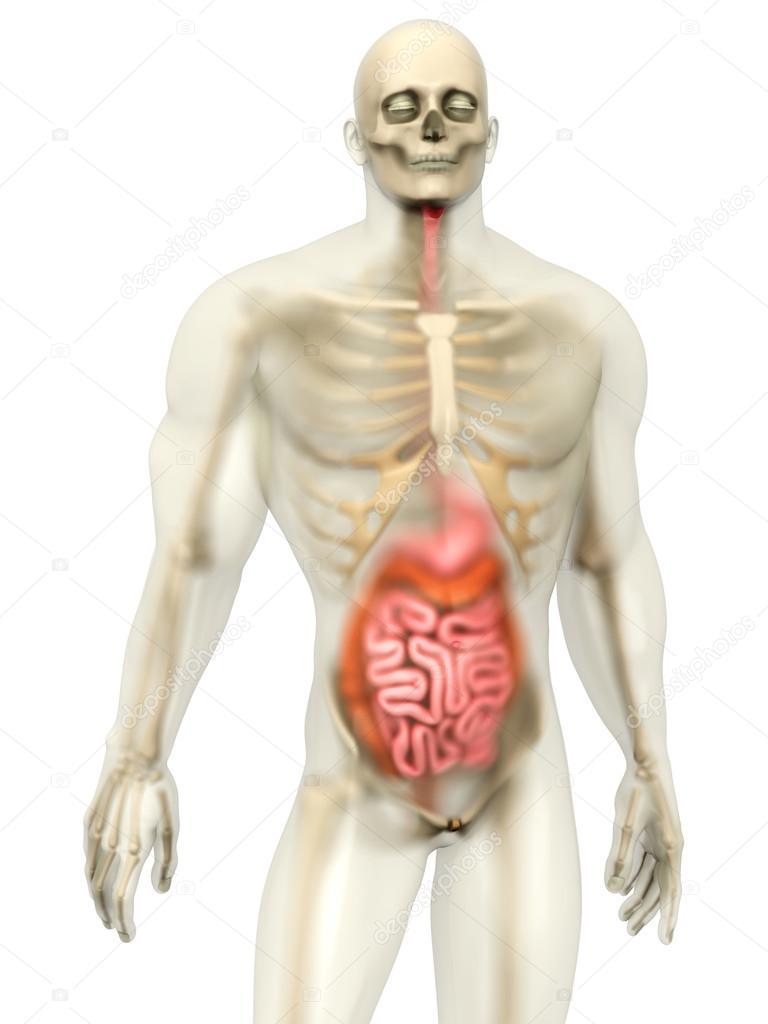 Menschliche Anatomie Visualisierung - Verdauungssystem — Stockfoto ...