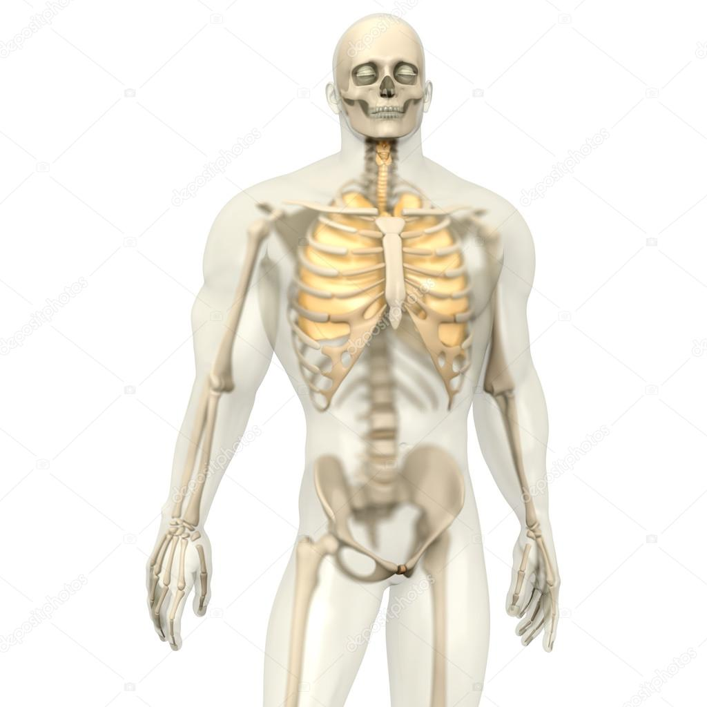 Menschliche Anatomie Visualisierung - die Lunge in eine halb ...
