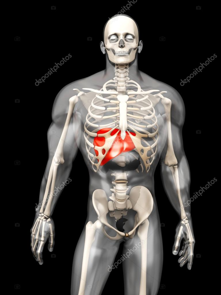 Visualización de anatomía humana - el hígado en un semi transparente ...