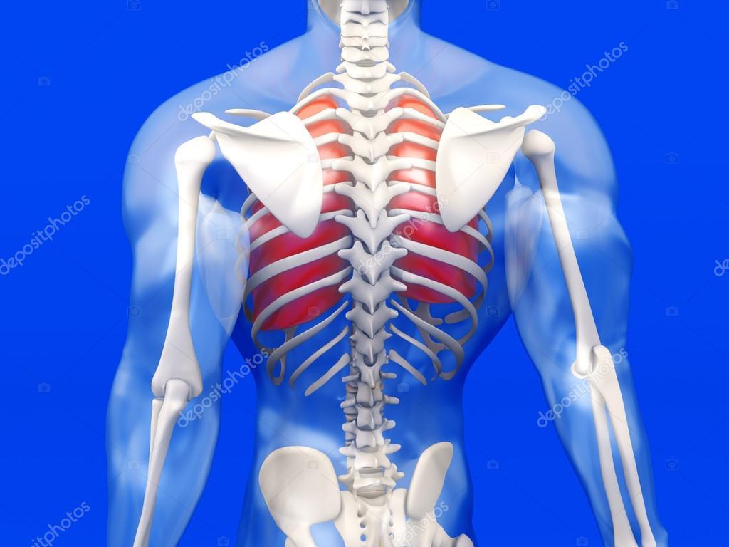 Visualización de anatomía humana - los pulmones en un semi ...