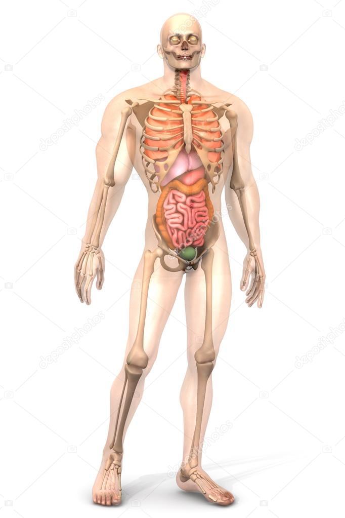 Großartig Menschliche Anatomie Organe Bild Bilder - Menschliche ...