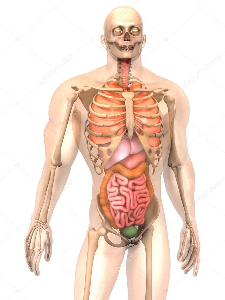 Human Anatomy Visualization Internal Organs Stock Photo