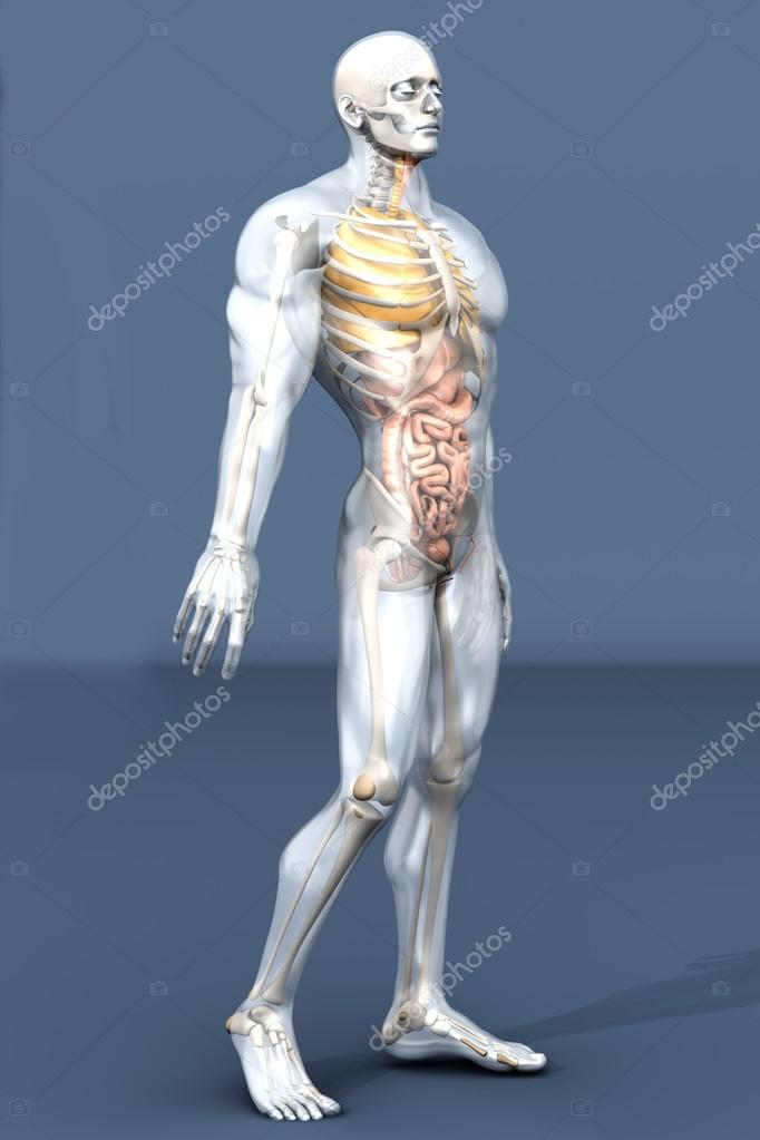 Human Anatomy Visualization Internal Organs Stock Photo