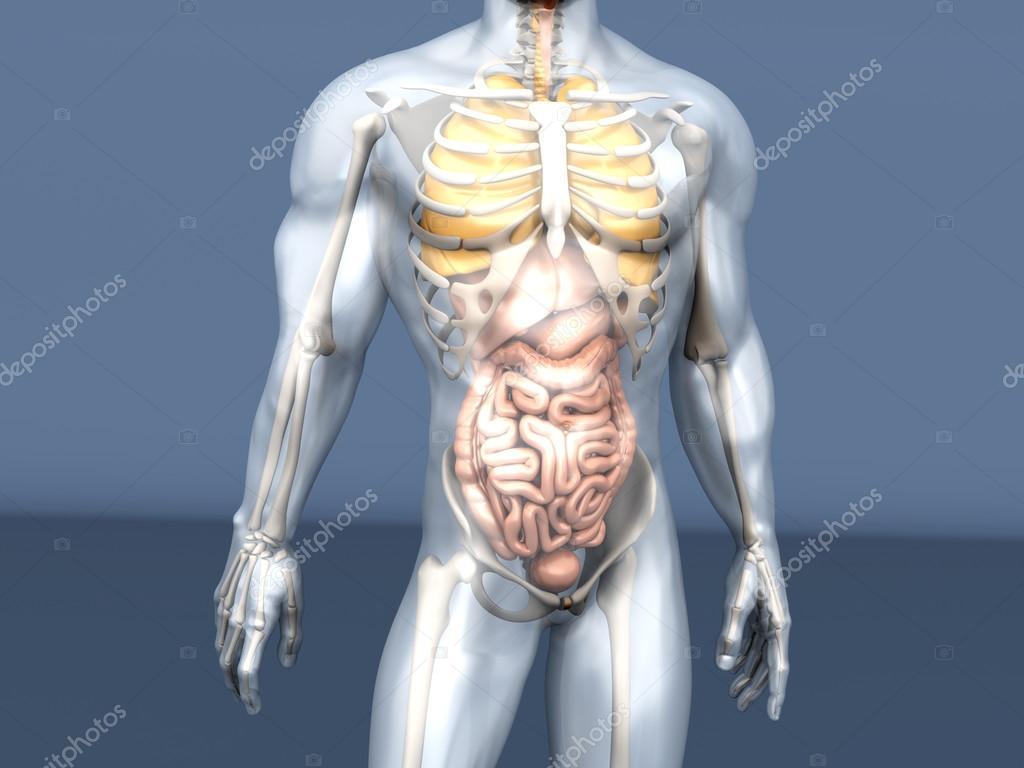 Visualización de anatomía humana - órganos internos — Fotos de Stock ...