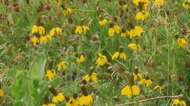 Blízký obraz žlutých květin kolébajících se ve větru. Kamera uzamčena.