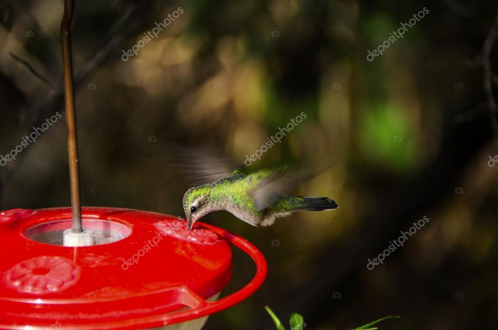Colibrí alimentación alas mostrando movimiento — Fotos de Stock ...