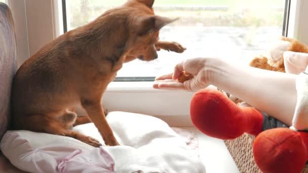 Kočka a pes spolu hrají v okně a hrát si s jejich vlastníkem a jíst v cookie.