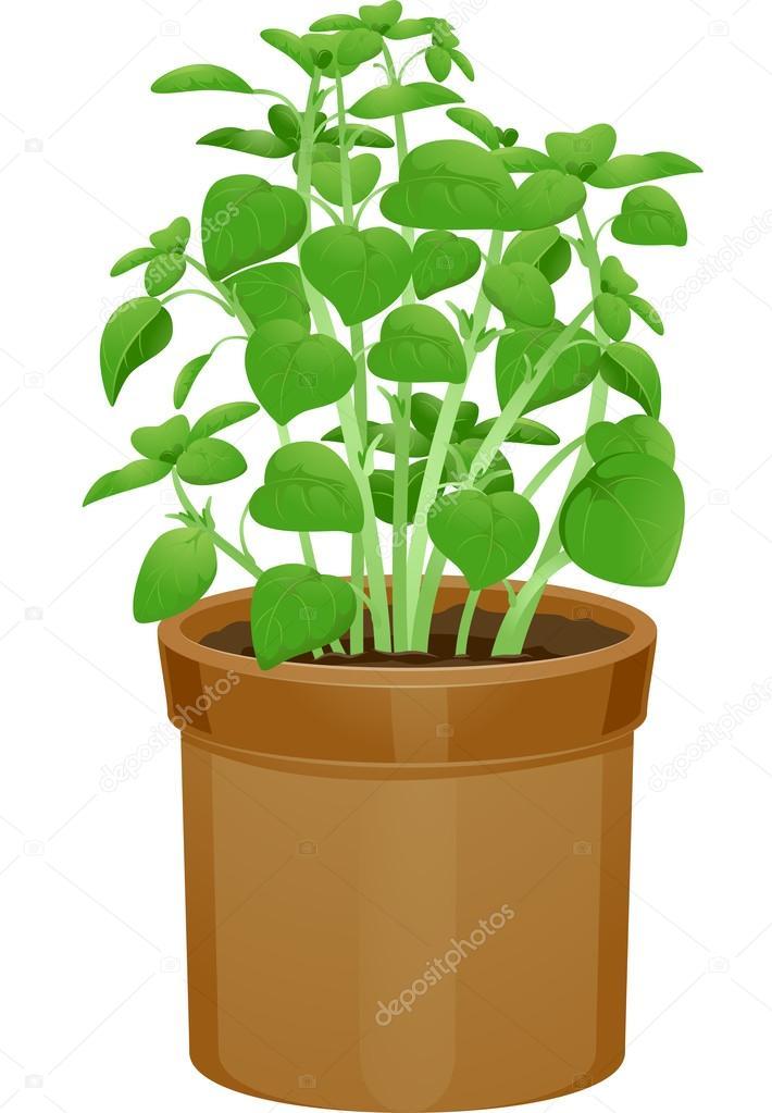 Planta de albahaca en macetas fotos de stock lenmdp for Varias plantas en una maceta