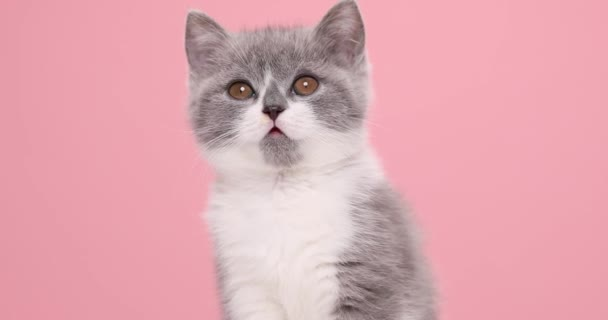 head and shoulders of a cute little cat looking hungry, looking around for food, and licking its nose in anticipation of food on pink background