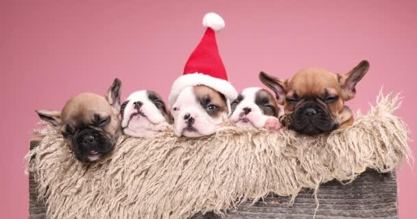 család öt imádnivaló francia bulldogs kölykök visel Mikulás kalap és ünnepli a karácsonyt együtt egy szőrös fa doboz
