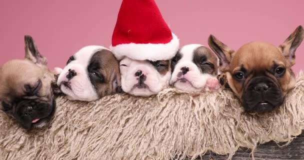 Kleine Reihe kostbarer Welpen, die sich ausruhen, schlafen, Weihnachtsmützen tragen und sich in eine pelzige Holzkiste legen