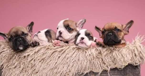 szőrös fadoboz tele imádnivaló család francia bulldog kutyák alszik és pihen egy hangulatos helyen