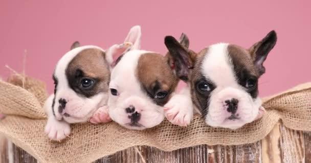 rémült kis francia bulldog kölykök pihennek és remegnek egy vászonzsákon egy öreg fadobozban.