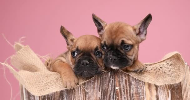 zwei entzückende braune französische Bulldoggen, die zitternd, zur Seite schauend und die Zunge herausstreckend eine Klettverschlusstasche in einer Holzkiste füllen