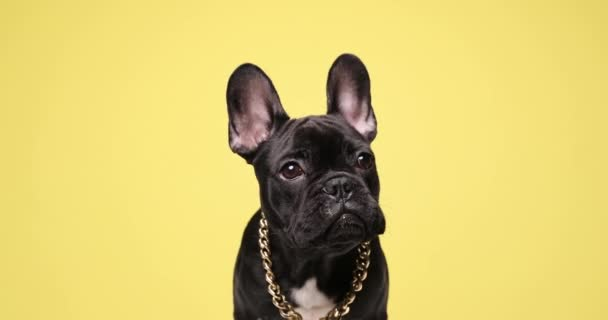 gyönyörű francia bulldog kutya arany gallérral, nyalás orr és ül a sárga háttér stúdió