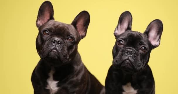 imádnivaló anya és fia francia bulldog kölykök kíváncsian néz fel, és ül a sárga háttér stúdió