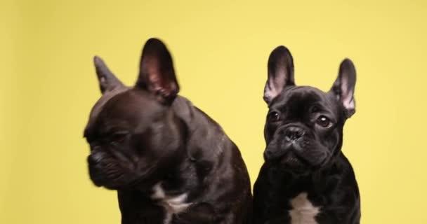 aranyos pár felnőtt és kölyök francia bulldog kutyák ül a sárga háttér, keres oldalra, és ugat a stúdióban