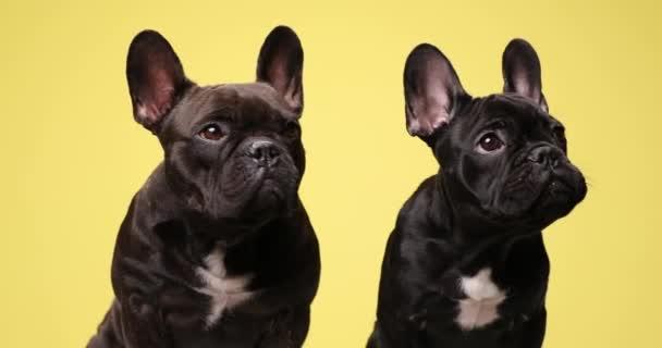 két értékes francia bulldog kölykök keres oldalra, álló és ül a sárga háttér stúdióban