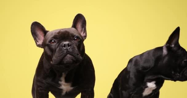 Francia bulldog kölykök ugató, látszó oldalra és nyalás orr, álló és ül a sárga háttér stúdió