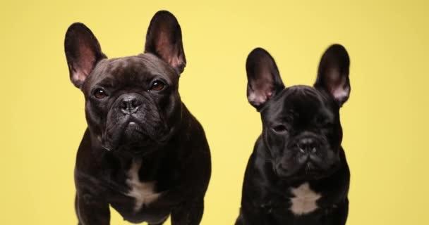 felnőtt anya és kisfia kutyák áll és ül a sárga háttér, körülnéz és ugat a stúdióban