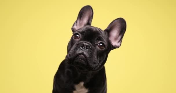 kíváncsi francia bulldog kiskutya kíváncsian néz fel, és ül a sárga háttér stúdió