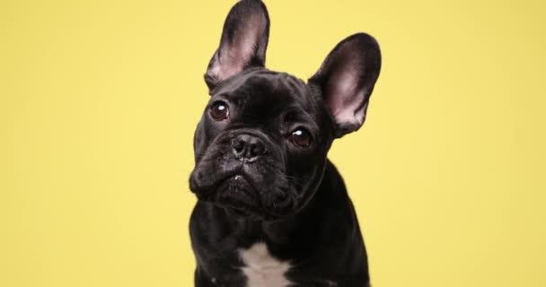 közelről imádnivaló francia bulldog néz fel sárga háttér, ül, és hogy aranyos a stúdióban