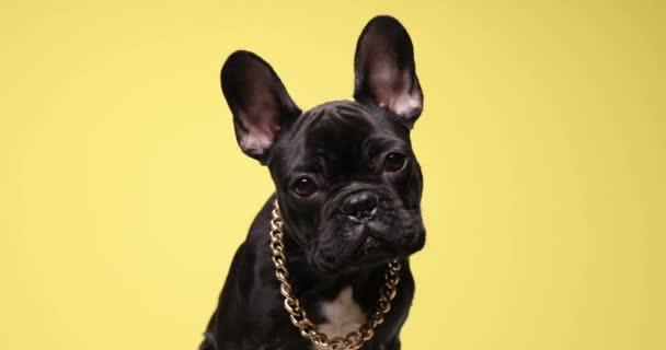 imádnivaló kis francia bulldog kiskutya visel arany gallér, kíváncsian néz fel, és ül a sárga háttér stúdió
