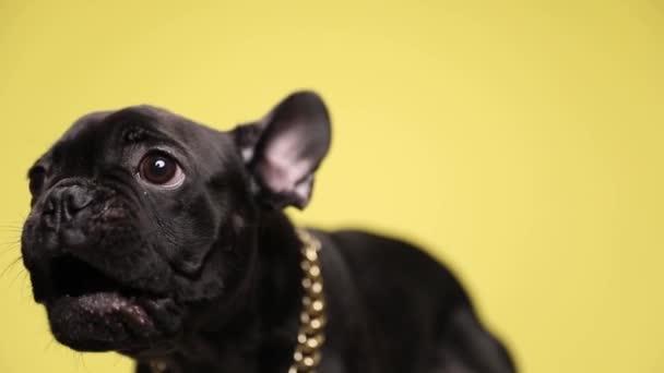 dühös kis francia bulldog ugat sárga háttér, hogy aranyos és visel arany gallér stúdió