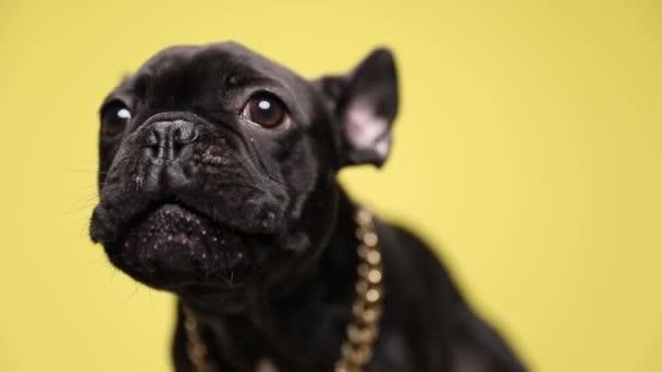 zaklatott francia bulldog kiskutya gallér ugató és álló sárga háttér stúdió