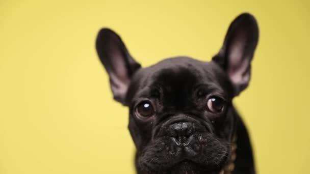 közelről dühös kis francia bulldog visel arany gallér körül nyak ugat sárga háttér stúdió