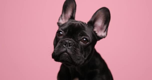 édes kis fekete bulldog kiskutya néz félre, nyalás orr és ül rózsaszín háttér stúdió
