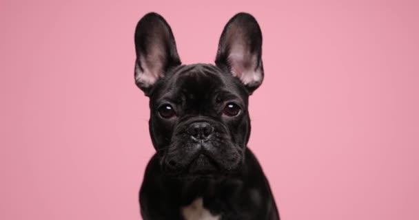 aranyos francia bulldog baba állat mozgó fej mindkét oldalon, és ül rózsaszín háttér stúdió
