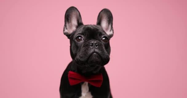 elegáns úriember francia bulldog kiskutya visel piros csokornyakkendő és kíváncsian felnézett, ül rózsaszín háttér stúdió