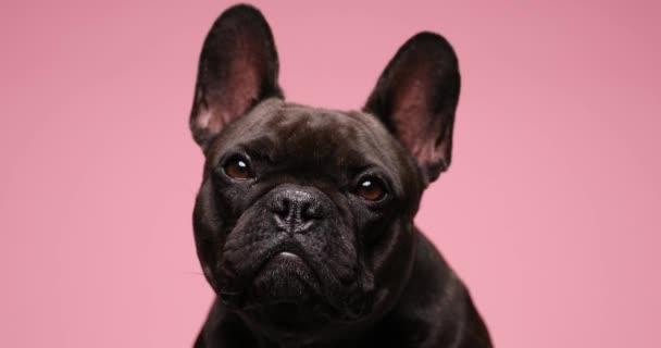 gyönyörű kis bulldog kiskutya nyalás orr, felnéz és oldalra, ül rózsaszín háttér stúdió