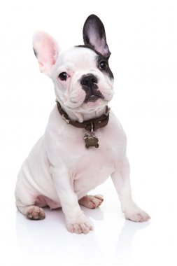 adorable french bulldog puppy sitting