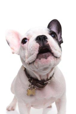 alert little french bulldog puppy barking