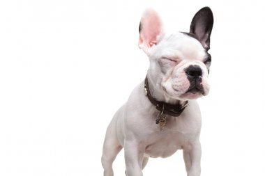 small french bulldog standing with eyes closed