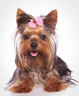 happy yorkshire terrier puppy dog lye down