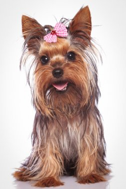 happy yorkshire terrier puppy dog sitting