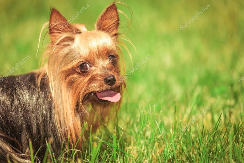 closeup of a panting yorkshire terrier puppy dog