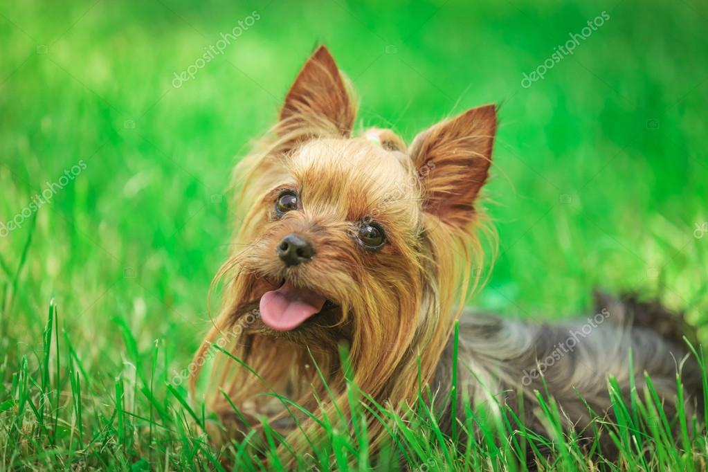 happy yorkshire terrier puppy dog panting in the grass