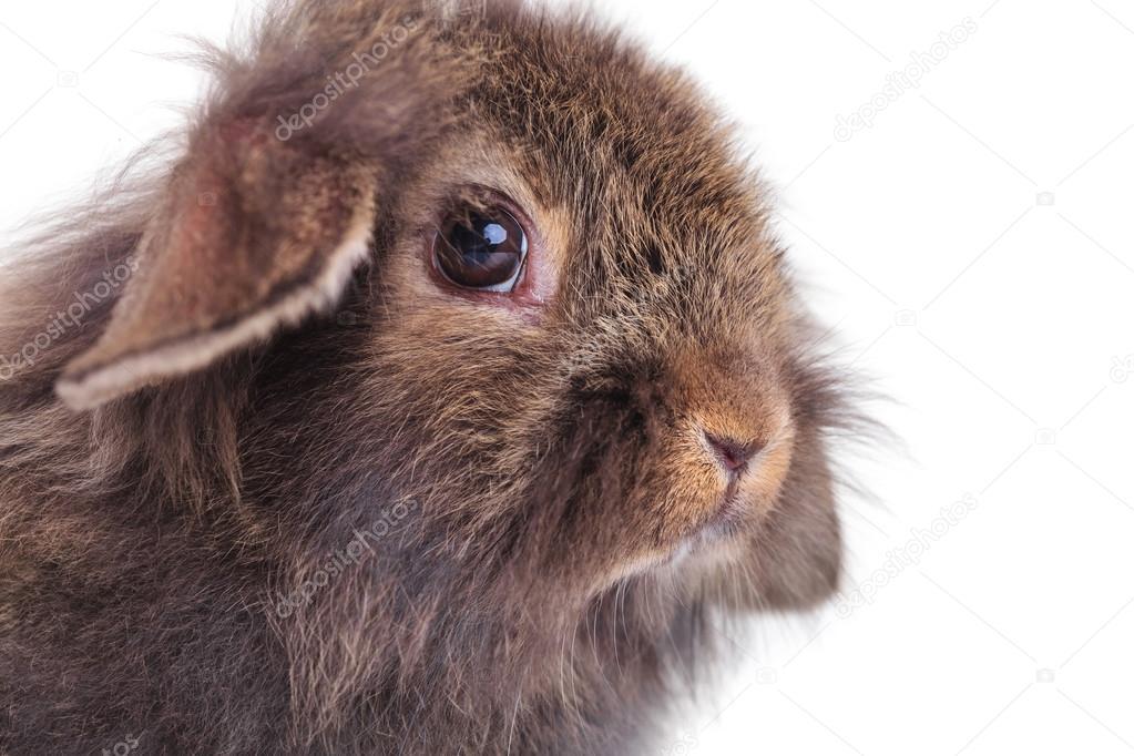 Oturma Sevimli Aslan Baş Tavşan Tavşan Resmi Stok Foto Feedough