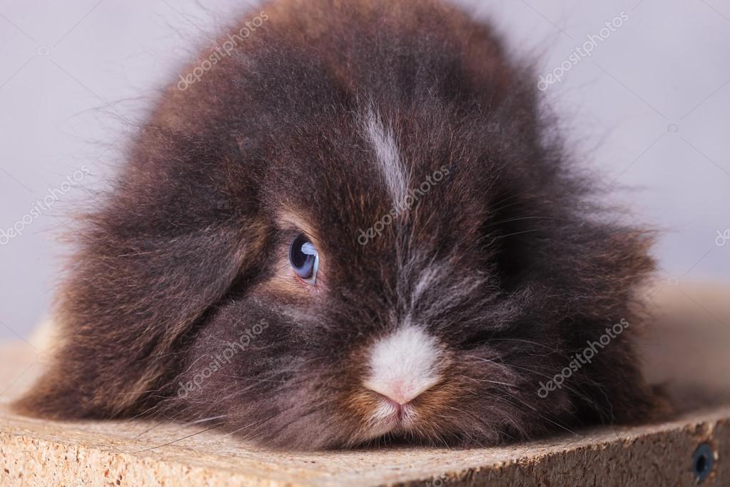 Tüylü Aslan Baş Tavşan Tavşan Resmi Oluşturan Kapatın Stok Foto
