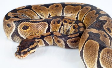 Beautiful strong python lying peacefully