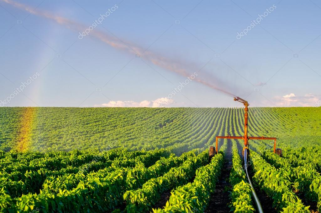 Agricultural irrigation system watering field of paprika on sunn