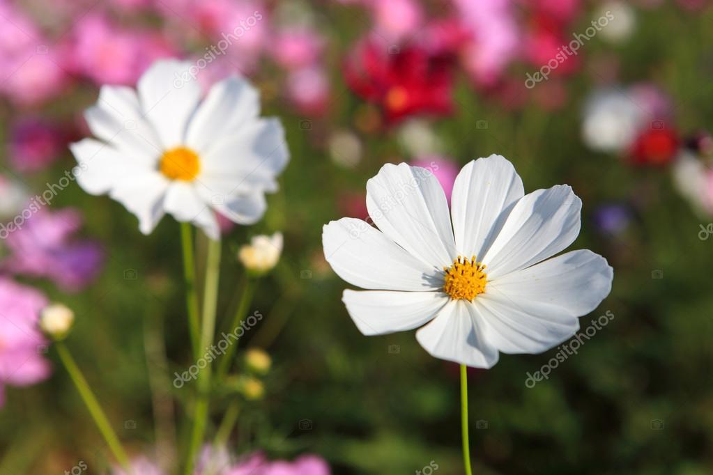 weiße Kosmos Blume hautnah — Stockfoto © biaggi123 #91369510