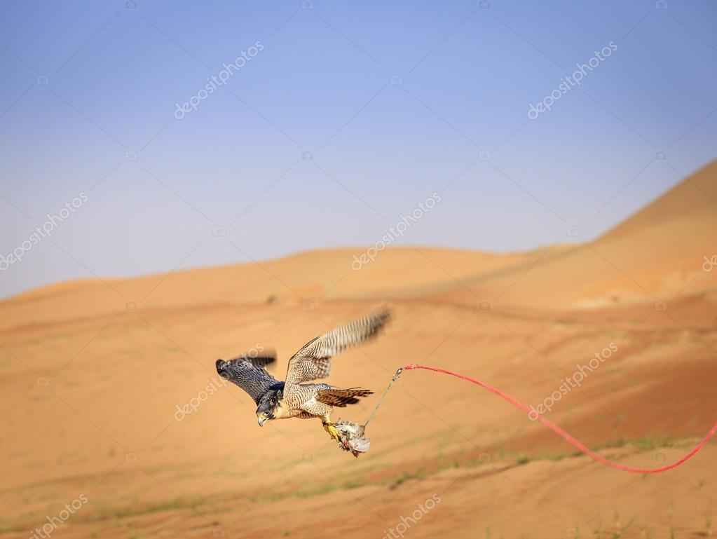 Training of Peregrine Falcon