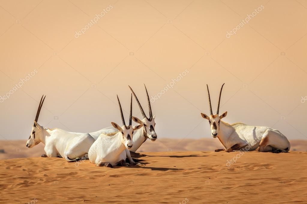 Arabian antelopes in Desert
